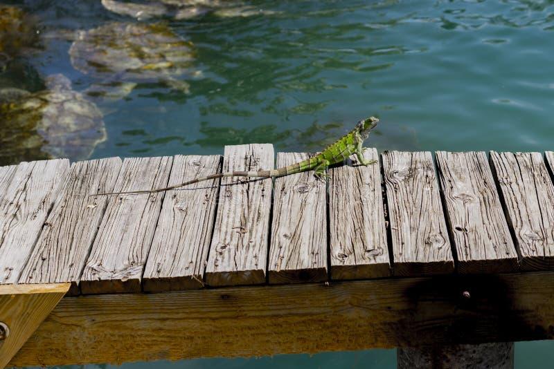 Lucertola verde su un molo di legno sopra uno stagno fotografia stock