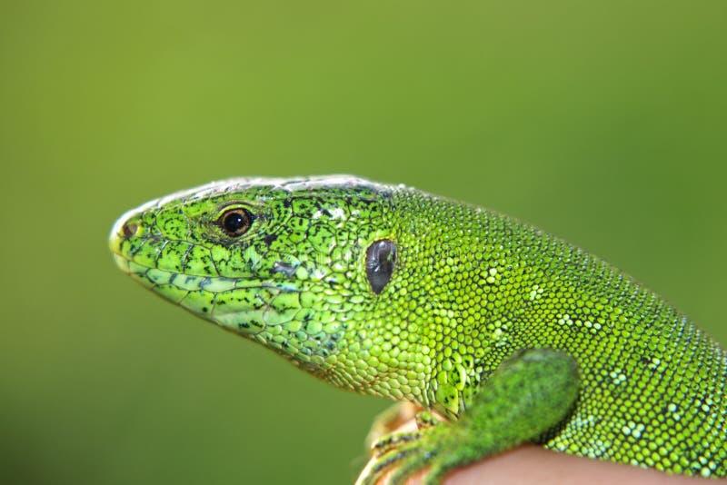 Lucertola verde in una mano. immagine stock libera da diritti