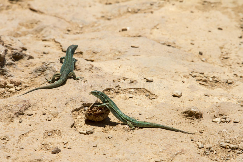 Lucertole su Formentera fotografia stock libera da diritti