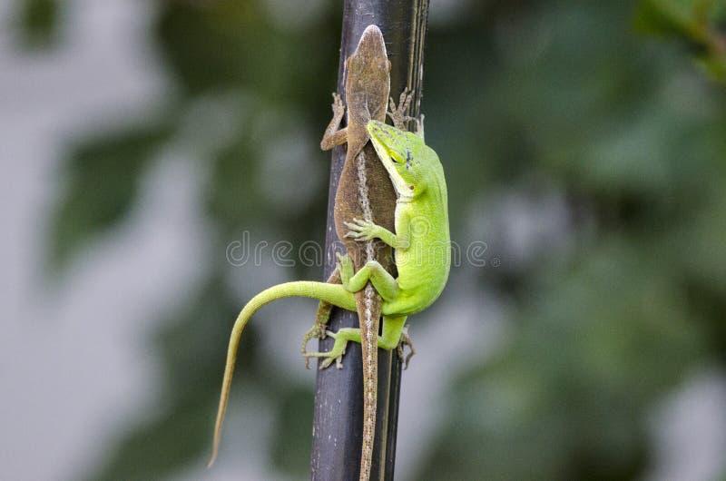 Lucertole verdi accoppiamento di Anole del camaleonte, Georgia U.S.A. fotografia stock