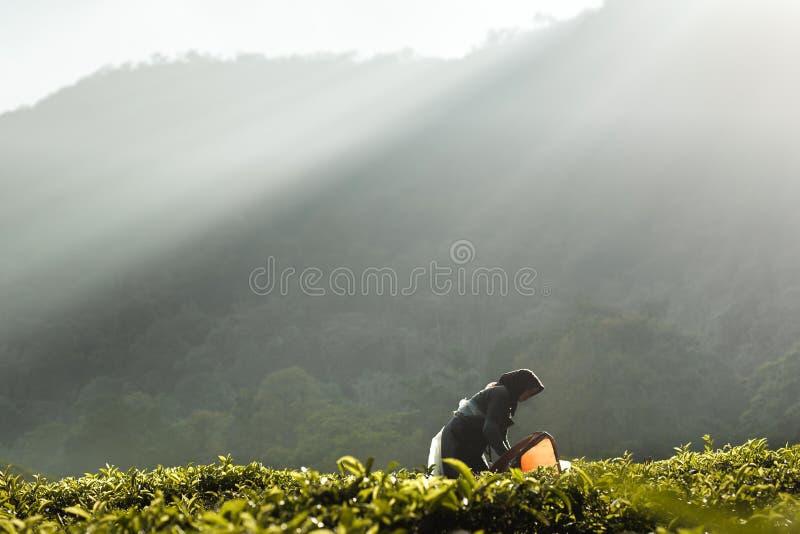 Luces de la mañana en la plantación de té imagenes de archivo