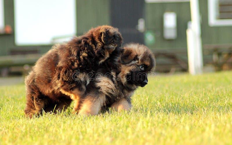 Lucha amistosa del perrito fotos de archivo