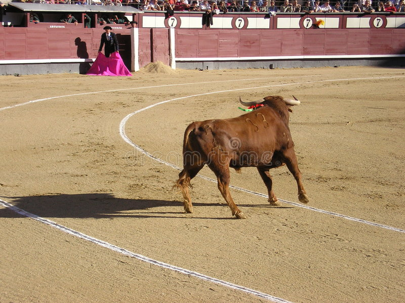 Lucha de Bull foto de archivo