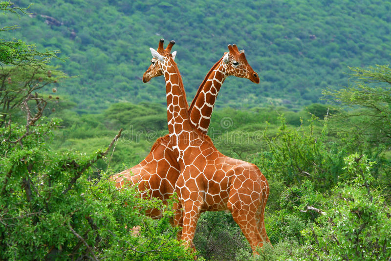 Lucha de dos jirafas fotografía de archivo