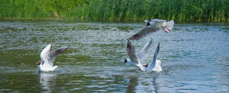 Lucha de las gaviotas para un pescado imagenes de archivo