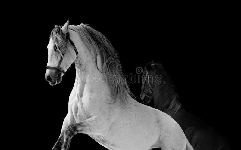 Lucha de los caballos foto de archivo libre de regalías