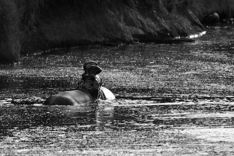 Lucha del hipopótamo fotos de archivo