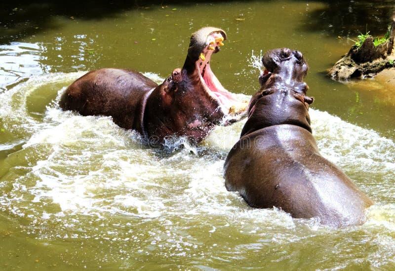 Lucha del hipopótamo fotografía de archivo libre de regalías