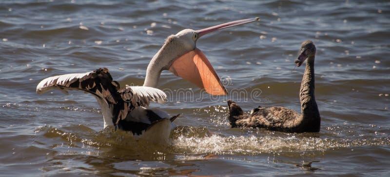 Lucha del pelícano y del cisne negro - 2 fotografía de archivo
