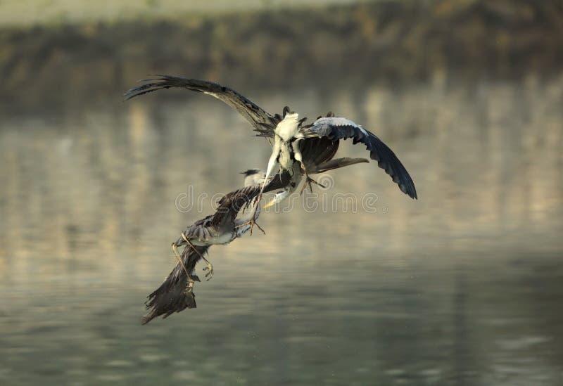 Lucha del territorio de Grey Herons fotografía de archivo