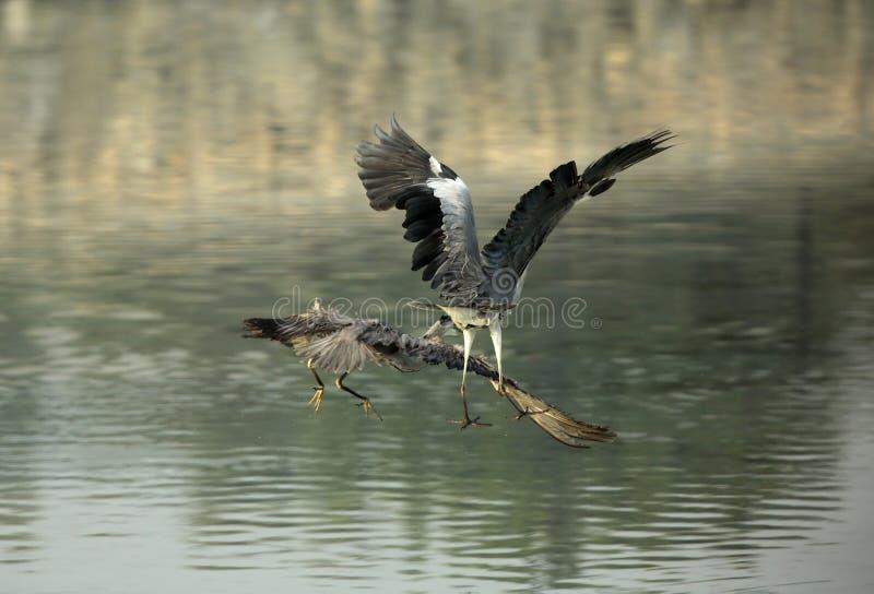 Lucha del territorio de Grey Herons fotos de archivo