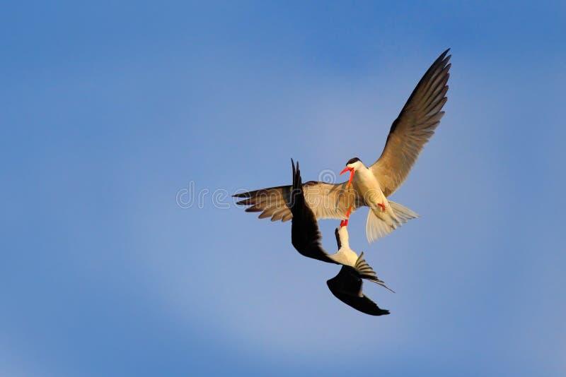 Lucha en el cielo Pájaro blanco y negro hermoso dos con la cuenta roja que lucha en el cielo azul Duelo en el aire Desnatadora af imágenes de archivo libres de regalías