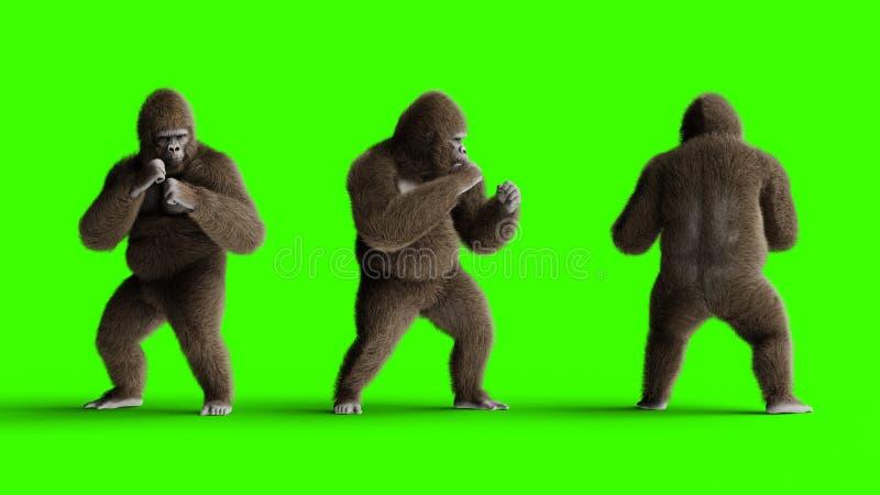 Lucha marrón divertida del gorila Piel y pelo realistas estupendos Pantalla verde representación 3d ilustración del vector