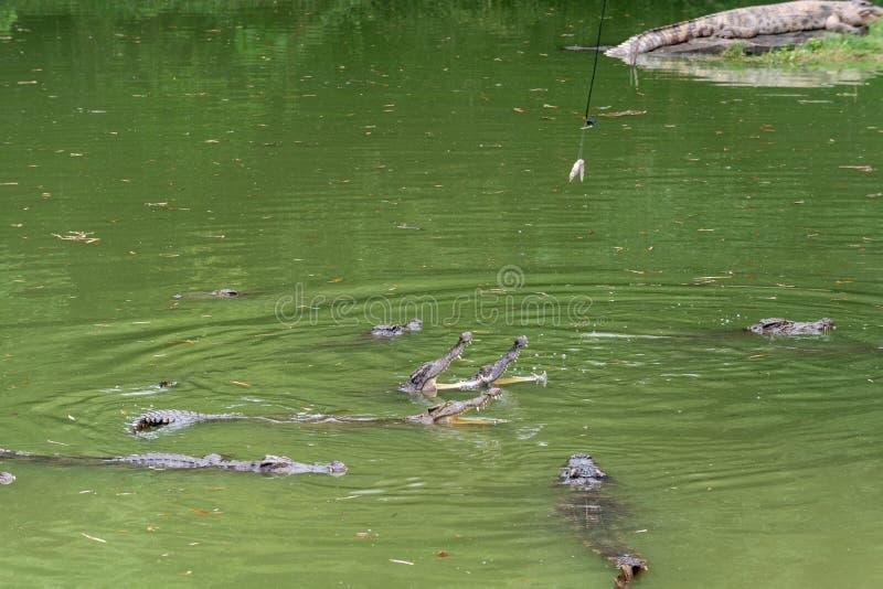 Lucha para el siamensis del comida-cocodrilo-Crocodylus imagen de archivo libre de regalías