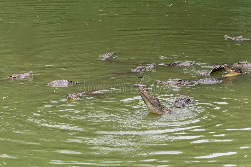 Lucha para el siamensis del comida-cocodrilo-Crocodylus fotos de archivo