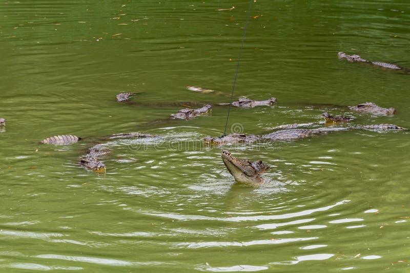 Lucha para el siamensis del comida-cocodrilo-Crocodylus foto de archivo libre de regalías