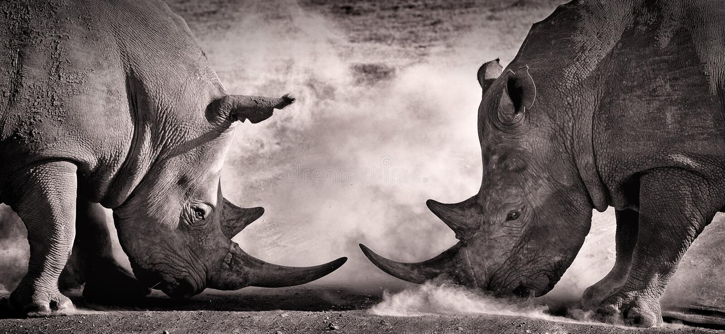 Luche, una confrontación entre el rinoceronte de dos blancos en la sabana africana en el lago Nakuru foto de archivo