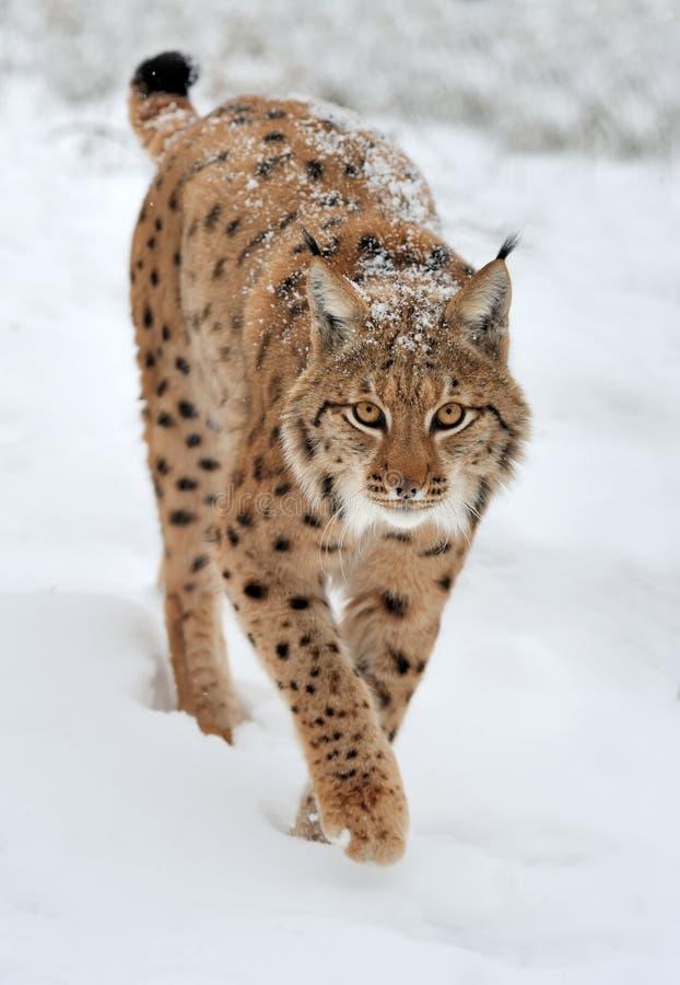 Luchs im Winter lizenzfreie stockbilder