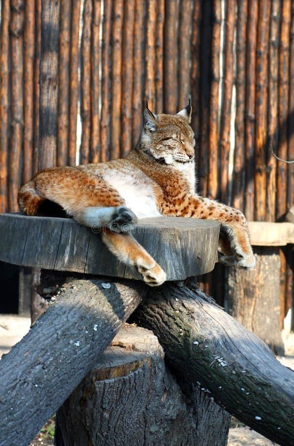 Luchs Im Zoo Lizenzfreie Stockbilder