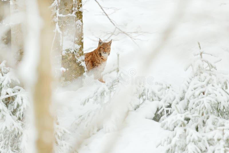 Luchs versteckter Schneewaldeurasischer Luchswinter Szene der wild lebenden Tiere von der tschechischen Natur Snowy-Katze im Natu lizenzfreie stockfotografie