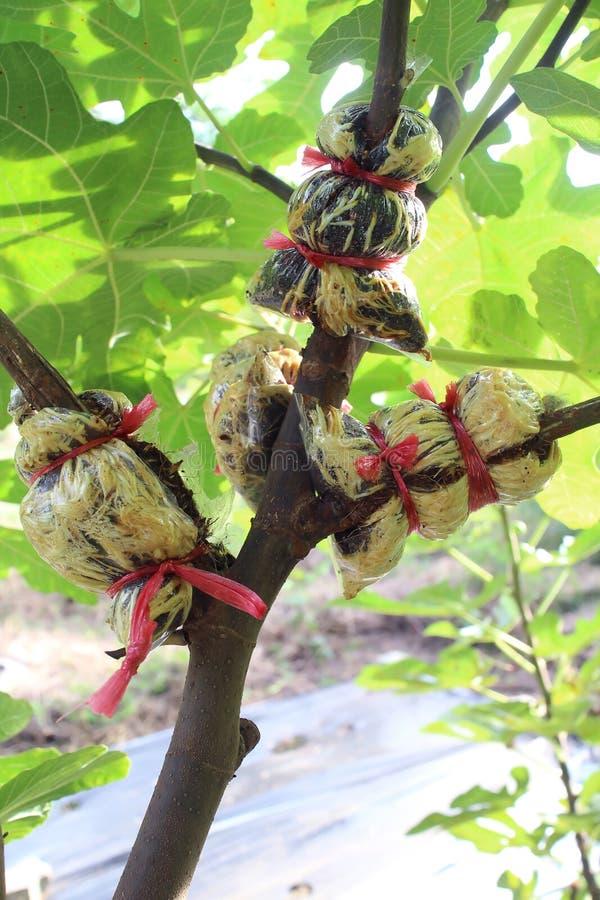 Lucht die fig.boom in lagen aanbrengen stock foto