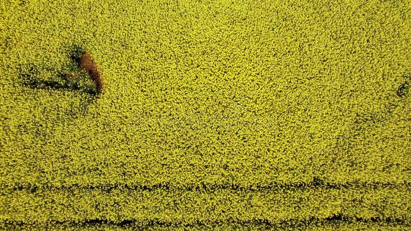 Lucht hoogste mening Vlucht over Gebied met bloeiende Canola-bloemen stock foto