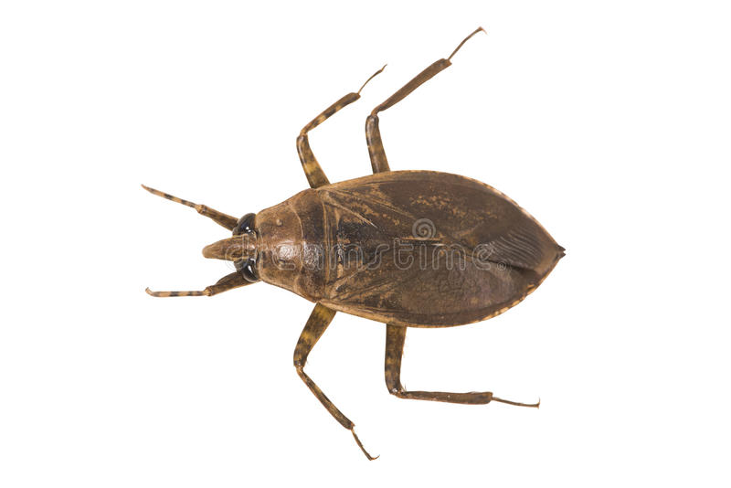Het reuze Insect van het Water royalty-vrije stock afbeelding