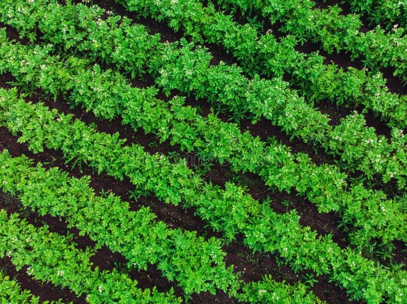 Luchthommelmening aan bedden van groene rijpende aardappelsstruiken Het gebied van het land van aardappel in rijlijnen Verse held stock foto's