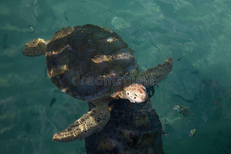 Luchtmening van boze bedreigde zeeschildpad die aan oppervlakte in duidelijk wintertalingswater drijven royalty-vrije stock foto's
