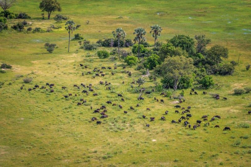 Luchtmening van een kudde van Buffels royalty-vrije stock afbeelding