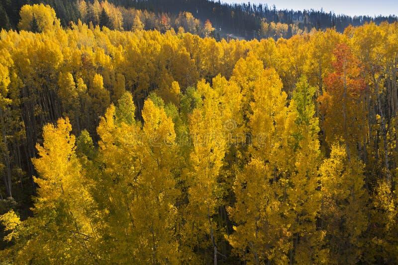 Luchtmening van Gouden Aspen Trees In Vail Colorado Rocky Mountains stock fotografie