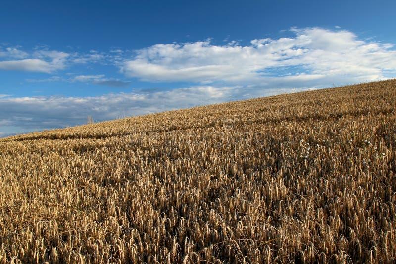 Luchtmening van gouden grainfield onder de blauwe hemel met wolken, Luxemburg royalty-vrije stock afbeeldingen