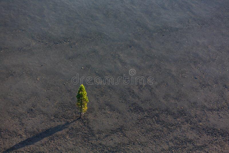 Luchtmening van het enige pijnboomboom groeien op sintelkegel verlaten door vulkaan stock foto's