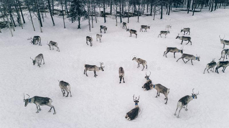 Luchtmening van rendierkudde in de winter Lapland Finland royalty-vrije stock foto