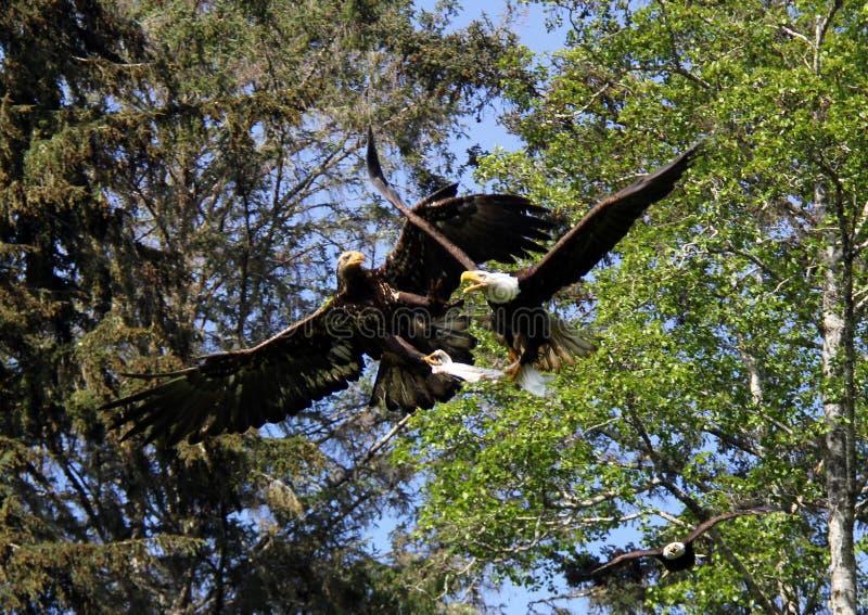 Luchtslag tussen Kaal en Golden Eagles bij Waakzame Baai, BC royalty-vrije stock foto's