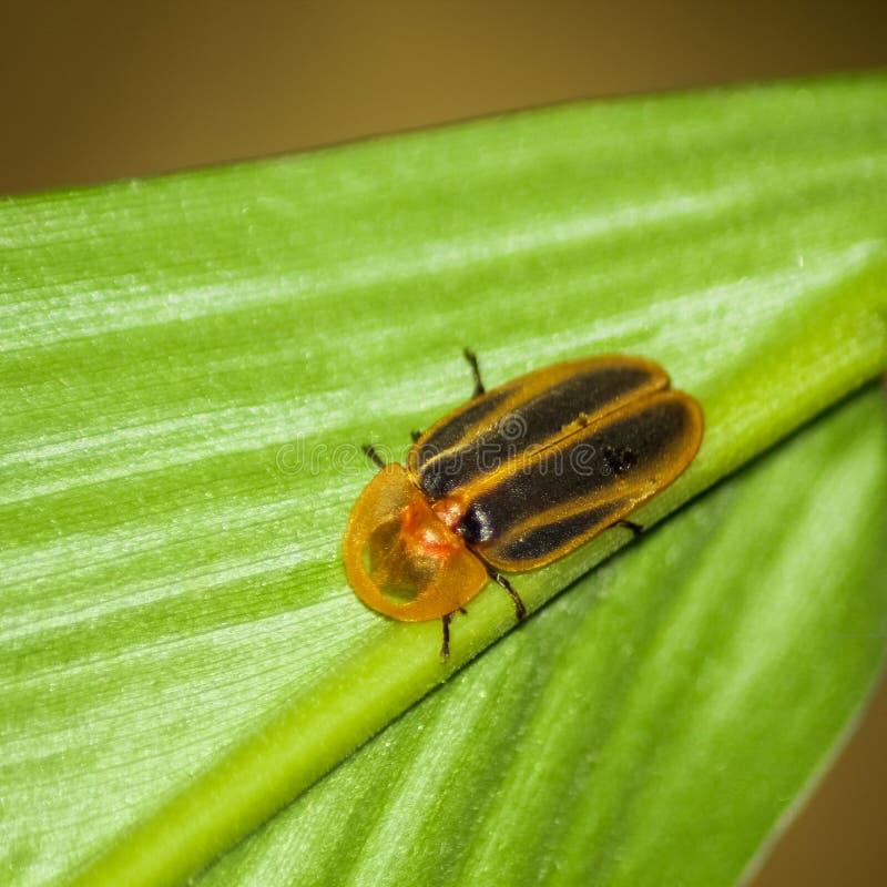 Luciérnaga, insecto de relámpago imagen de archivo libre de regalías