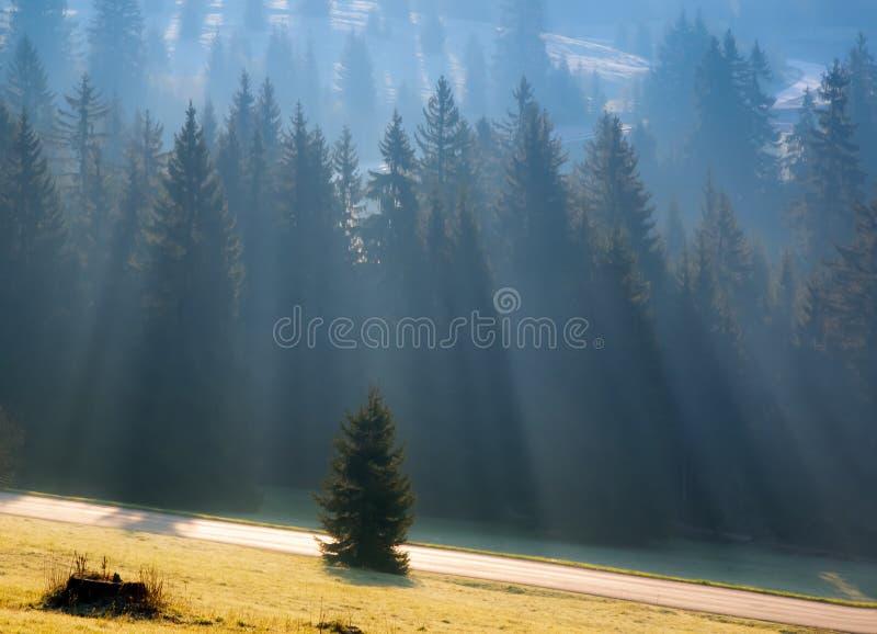 Luci e nebbia di mattina nella foresta dell'abete con la strada fotografie stock