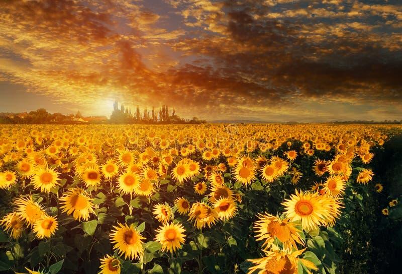 Luci luminose del sole di tramonto giallo del paesaggio del giacimento del girasole fotografia stock libera da diritti