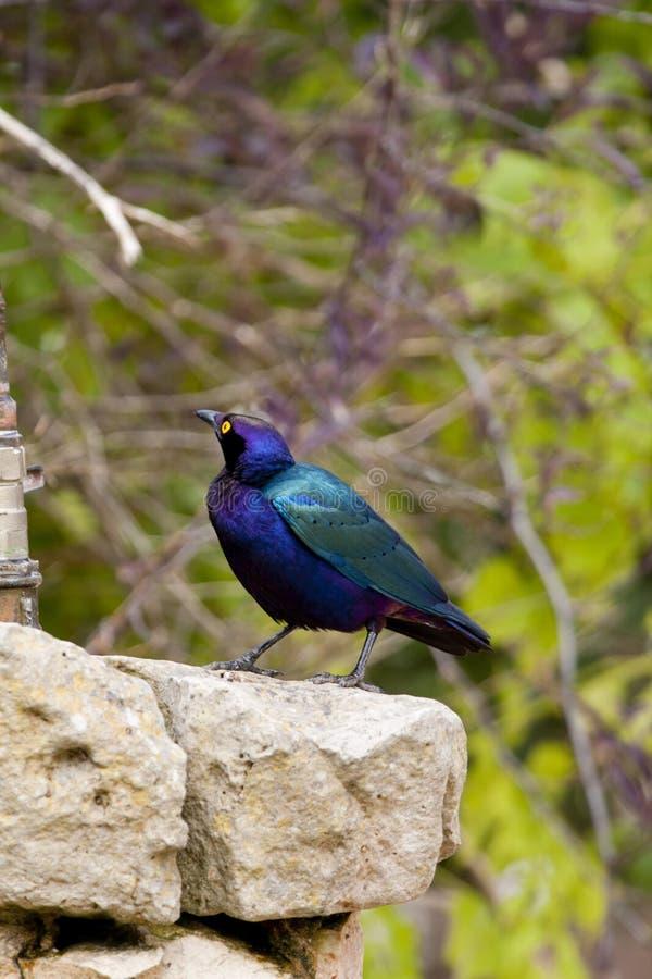 Lucido-starling viola fotografia stock