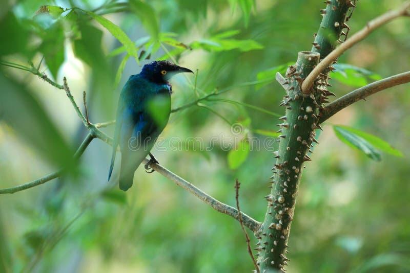 Lucido-starling viola fotografia stock libera da diritti