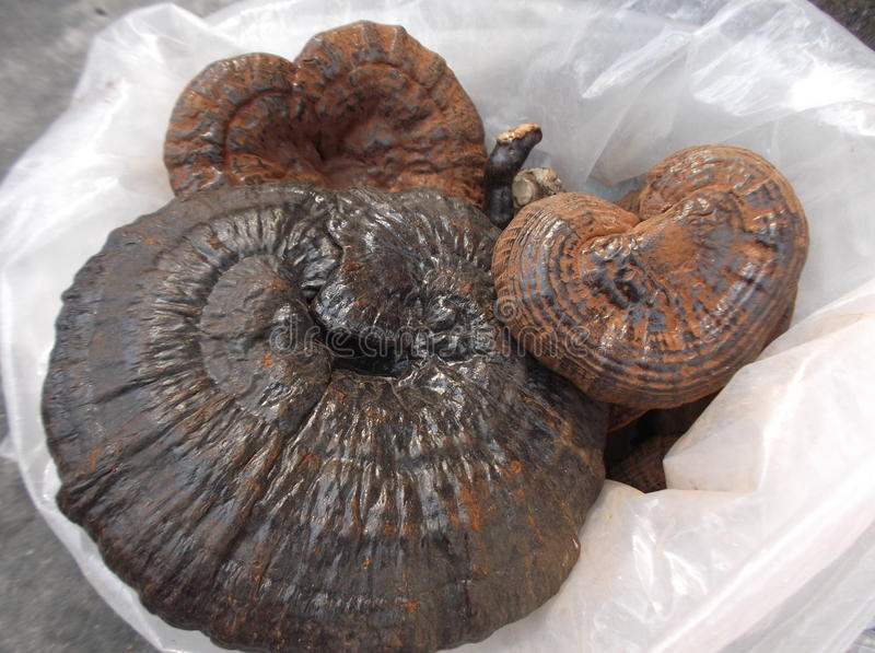 Lucidum chinês de Ganoderma do fitoterapia imagem de stock