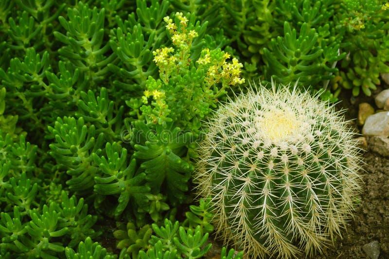Lucidum de Sedum en la floración con las pequeños flores e hildm amarillos del grusonii del echinocactus fotos de archivo