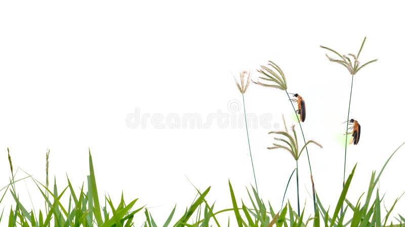 Luciole étant perché sur l'isolat de fleur d'herbe sur le fond blanc images libres de droits