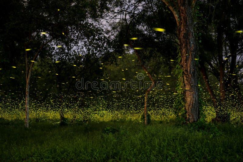 luciole photo libre de droits
