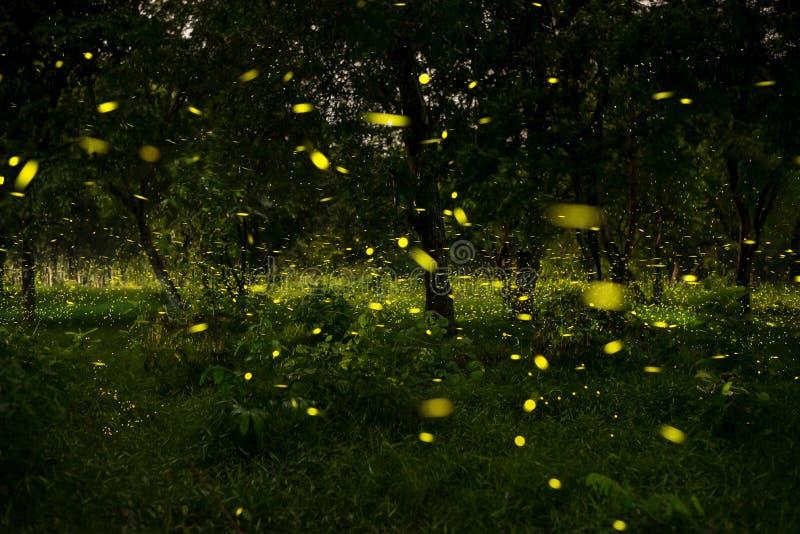 luciole photos libres de droits