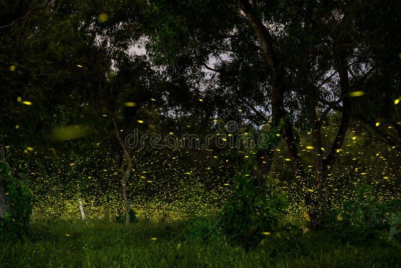 luciole photos stock