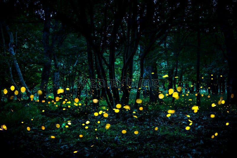 Lucioles volant dans la forêt au crépuscule photos stock