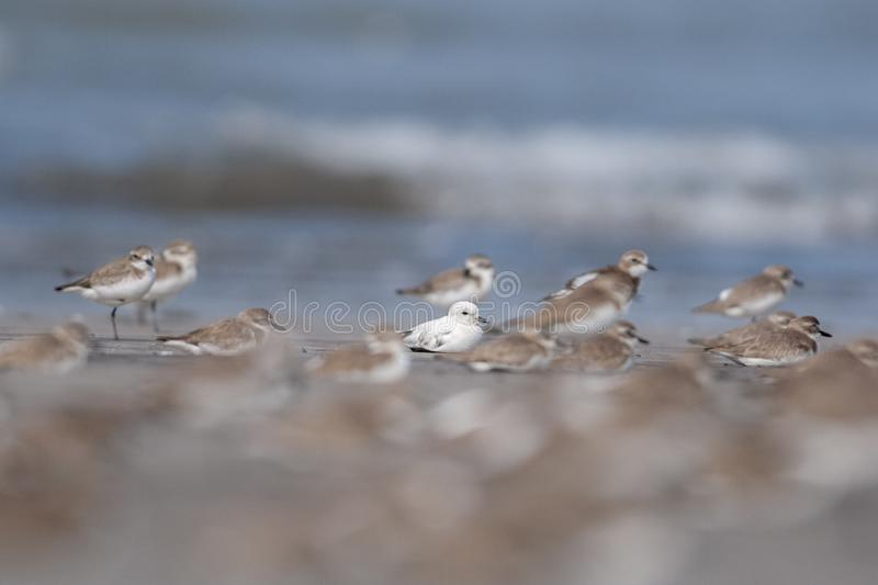 Lucistic Sand Plover in Non breeding Plumage at Akshi Beach,Maharashtra,India. Asia stock photography