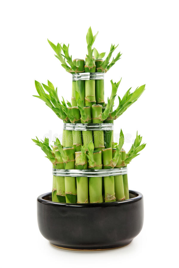 Download Luck Bamboo stock photo. Image of nature, isolated, decoration - 17788174