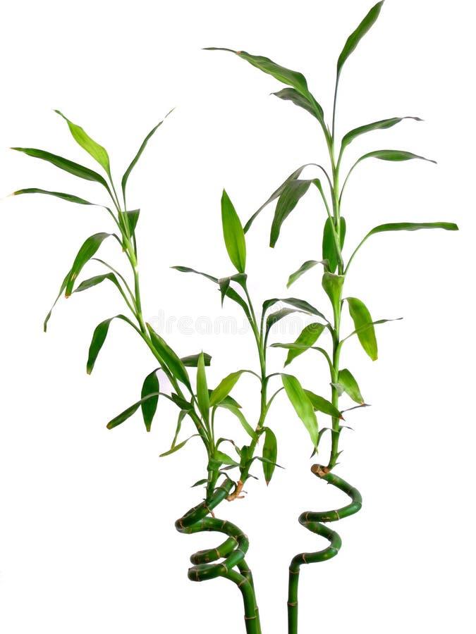 Free Lucky Bamboo Stock Photos - 138523